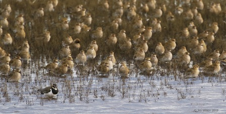 lapwing and Golden Plover at Harper's Island Wetlands